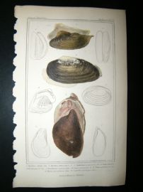 Cuvier C1835 Antique Hand Col Print. Shells #34
